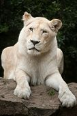 Постер, плакат: Female white lion The white lion is a colour mutation of the Transvaal lion Panthera leo krugeri