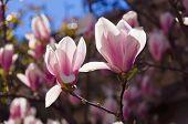 Magnolia Blossoms Backlight