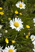 .Three Ox-Eye Daisies