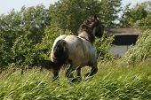 Racing Draught Horse