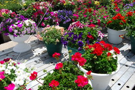 picture of flower pot  - Flowers in a pot at a nursery - JPG