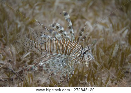 Common Lionfish Over Seagrass In