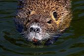 Ordinary Beaver, Or River Beaver (latin Castor Fiber) Is A Semi-aquatic Mammal Of The Order Of Roden poster