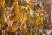 Faded Leaf Of Grapes. Dry Leaves At Autumn Day poster