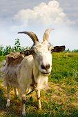 Rural billy goat on meadow