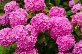 A Telltale Sign Of Summer. Hydrangea Blossom On Sunny Day. Blossoming Flowers In Summer Garden. Flow poster