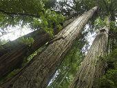 Towering Redwood Trees