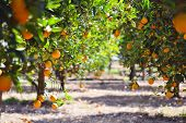 Orange Tree With Fruits, Beautiful Drove Of Orange. Ripe Organic Oranges Hanging From An Orange Tree poster