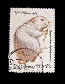 USSR - CIRCA 1980: A stamp printed in the USSR shows Coypu or nutria - Myocastor coypus, circa 1980