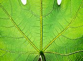 stock photo of chloroplast  - Figs Green leaf texture - JPG