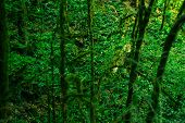 Background - Subtropical Forest, View Down To The Undergrowth Through Mossy Vines poster