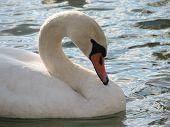 Swan Close-Up