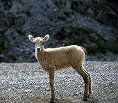 Stone Sheep Calf