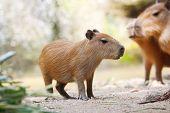 Very Cute Largest Rodent Capybara (hydrochoerus Hydrochaeris) poster