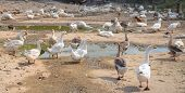 Domestic Bird Farm Pasture. White And Grey Goose Outdoor. Soil Pasture With Paddles For Water Bird.  poster