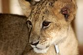 Lion kids
