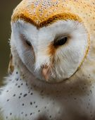foto of hobgoblin  - Close Up Photograph Of A Barn Owl