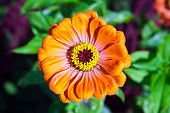 mage beautiful flower bud orange Zinnia gotsveta