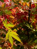 Fall Japanese Maple Leaves Background