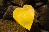 Heart Shaped Fall Leaf