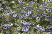 Lots Of Nigella Damascena Flowers