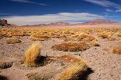 altiplano grass paja brava close to salt lake Salar de Tara, Chile poster