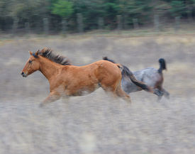 stock photo of running horse  - two horses running in the field - JPG