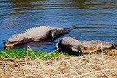 Alligators On Shore Bank