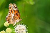 Mariposa Fritillary abigarrado (Euptoieta claudia)