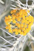 Close up of fresh achillea millefolium or common yarrow