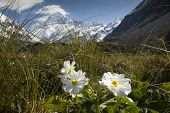 foto of hookers  - Mt Cook with Lily or Buttercups in the Hooker valley, Mount Cook National Park, New Zealand