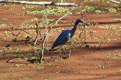 Lesser Blue Heron