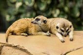 image of meerkats  - Two meerkat resting on ground in zoo Thailand - JPG