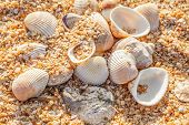 Shell Molluscs On The Beach