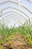 Onion Plantation In A Vegetable Garden