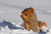 Squirrel In Snow Standing Up Eating