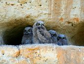 great horned owl babies. owlets on a cliff