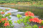 pic of marshlands  - Japanese azalea whith marshland Mt. Akagi Kakumanbuchi Gunma Japan