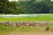 Sika Deer In Jungls Of Sri Lanka
