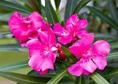 Pink Nerium Oleandes L. Flower