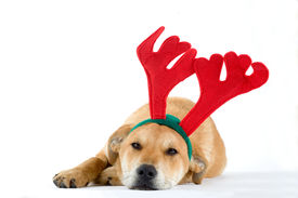 pic of christmas puppy  - puppy dressed as a reindeer isolated on white background - JPG