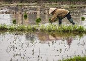 Farmer Planting Rice In Submerged Paddy.