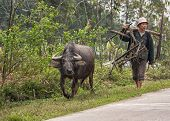 Rural Scene Featuring Farmer And Buffalo Walking Along Road.