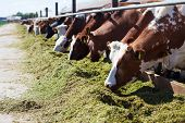 image of grass-cutter  - Cow eating green cutter grass in stable - JPG