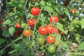 image of tomato plant  - Closeup photo of a tomato plant in the vegetable garden - JPG