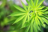 stock photo of flames  - Young cannabis plant  - JPG