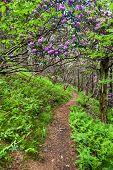 North Carolina Hiking Trail with Rhododendron