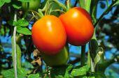 Bio organic tomatoes