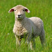 stock photo of spring lambs  - cute young lamb on pasture in spring nature - JPG