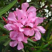 pink oleander bouquet closeup floral background